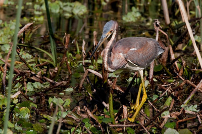 "Tricolored Heron – ForagingEgretta tricolor February – Texas L=26""  ......   WS=36""......     WT=13 oz Order: Ciconiiformes (Herons, Ibises, Storks, New World Vultures, Allies) Family: Ardeidae (Herons, Egrets, Bitterns)"