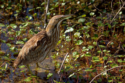 "American Bittern– Foraging Botaurus lentiginosus March – Texas L=28""    ...... WS=26"" .......    WT=7 oz Order: Ciconiiformes (Herons, Ibises, Storks, New World Vultures, Allies) Family: Ardeidae (Herons, Egrets, Bitterns)"