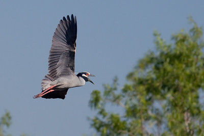 "Yellow-crowned Night-Heron – In flight and callingNyctanassa violacea April – Texas L=24""    ...... WS=42"" .......    WT=1.5 lb  Order: Ciconiiformes (Herons, Ibises, Storks, New World Vultures, Allies) Family: Ardeidae (Herons, Egrets, Bitterns)"