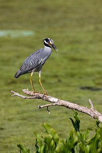 "Yellow-crowned Night-Heron – restingNyctanassa violacea July – Texas L=24""    ...... WS=42"" .......    WT=1.5 lb  Order: Ciconiiformes (Herons, Ibises, Storks, New World Vultures, Allies) Family: Ardeidae (Herons, Egrets, Bitterns) This species most often inhabits forested wetlands, swamps, and bayous of the deep south where poor lighting seems to be the most reliable characteristic of its breeding sites. Because Yellow-crowned Night-Herons are dark bodied and nest under canopy in forested areas, aerial surveys are ineffective in determining population status and because colonies are small and scattered, ground surveys are economically unfeasible. Yellow-crowned Night-Herons are frequently not listed at all in results of broad surveys for wading birds.  Numerous species of birds sun and adopt quite varied positions in doing so. There is little experimental data to establish the function of sunning but some suggested purposes include keeping the feathers supple through limited heating, harming or repositioning parasites, saving energy by taking up solar heat and simply doing it because it feels good. A number of large water birds stand for many minutes  with their wings extended in a pose known as ""spead-wing posture"". This type of sunning is most certainly done to help dry the feathers and to increase body heat."