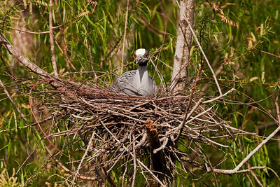 "Yellow-crowned Night-Heron – On eggs April 7thNyctanassa violacea April – Texas L=24""    ...... WS=42"" .......    WT=1.5 lb  Order: Ciconiiformes (Herons, Ibises, Storks, New World Vultures, Allies) Family: Ardeidae (Herons, Egrets, Bitterns)"