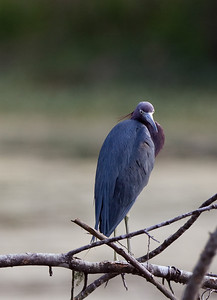 "Little Blue Heron – Watching for danger Egretta caerylea March – Texas L=26""    ...... WS=36"" .......    WT=13 oz Order: Ciconiiformes (Herons, Ibises, Storks, New World Vultures, Allies) Family: Ardeidae (Herons, Egrets, Bitterns)"