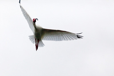 "White Ibis – In the cloudsEudocimus albus April – Texas L=25"" ......    WS=38"" ......    WT=2 lb Order: Ciconiiformes (Herons, Ibises, Storks, New World Vultures, Allies)  Family: Threskiornithidae (Ibises and Spoonbills)"