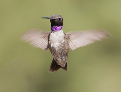 "Black-chinned Hummingbird – Male Archilochus alexandri August – Colorado L=3.75""   ......  WS=4.75""......     WT=0.12 oz......m>f Order: Apodiformes (Swifts and Hummingbirds) Family: Trochilidae (Hummingbirds)"