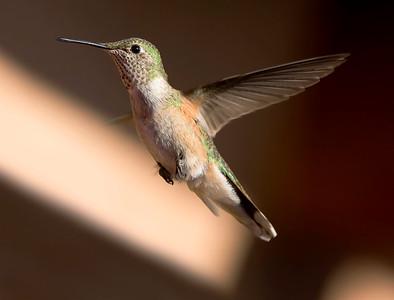"Broad-tailed Hummingbird – FemaleSelasphorus platycerus September – New Mexico L=4""   ......  WS=5.25""......     WT=0.13 oz Order: Apodiformes (Swifts and Hummingbirds) Family: Trochilidae (Hummingbirds)"