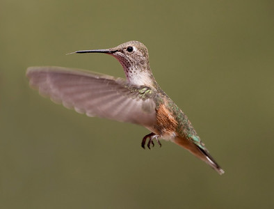 "Black-chinned Hummingbird – Female Archilochus alexandri August – Colorado L=3.75""   ......  WS=4.75""......     WT=0.12 oz......m>f Order: Apodiformes (Swifts and Hummingbirds) Family: Trochilidae (Hummingbirds)"