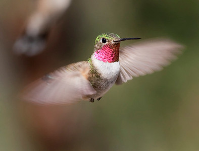 "Broad-tailed Hummingbird – MaleSelasphorus platycerus August – Colorado L=4""   ......  WS=5.25""......     WT=0.13 oz Order: Apodiformes (Swifts and Hummingbirds) Family: Trochilidae (Hummingbirds)"