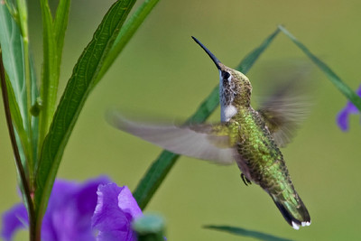 "Ruby -throated Hummingbird  Archilochus colubris July – Texas L=3.75""   ......  WS=4.5""......     WT=0.12 oz......m>f Order: Apodiformes (Swifts and Hummingbirds) Family: Trochilidae (Hummingbirds)"