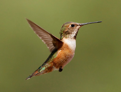 "Rufous Hummingbird – Female Selasphorus rufous August – Colorado L=3.75""   ......  WS=4.5""......     WT=0.1 oz Order: Apodiformes (Swifts and Hummingbirds) Family: Trochilidae (Hummingbirds)"