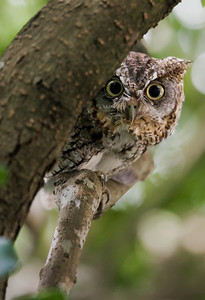 "Eastern Screech Owl – Watching just before fleeingMegascops asioJune – Texas L=8.5""......     WS=20""  ......   WT=6 oz Order: Strigiformes (Owls) Family: Strigidae (Typical Owls)"