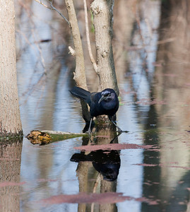 "Boat-tailed Grackle – Drinking Quiscalus major  March – Texas L=14.5-16.5""   ......  WS=17.5-23""    ....... WT=4.2-8.0 oz......m>f Order: Passeriformes (Passerine Birds) Family: Icteridae  (Blackbirds, Orioles, Allies)"