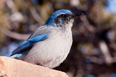 "Western Scrub-Jay – Interior or ""Woodhouse's"" subspecies Aphelocoma californica  January – Colorado L=11.5"".......     WS=15""    ....... WT= 3 oz Order: Passeriformes (Passerine Birds) Family: Covidae (Crows and Jays) The Western Scrub-Jay  has three well differentiated  subspecies that reside along the Pacific Ocean of California and Oregon, the  non-coastal area of California and east to Texas but remaining south of Montana, and southern Mexico. There is very little overlap in their ranges. The two North American subspecies are  called the coastal or ""California"" and the interior or ""Woodhouse's"".   The physical and behavioral characteristics of these two North American birds are distinct. The coastal subspecies is thicker billed, darker and richer in color overall. They are bold, conspicuous and adapt well to human neighborhoods. Thus they are easily spotted. The interior subspecies is drabber, secretive, and more frequently heard than seen.  Given the lack of range overlap and the associated lack of inter-breeding, differences in physical appearance and differences in behavior  separating these subspecies ornithologists continue to study the evolutionary history of these birds and may create three species where one now exists."