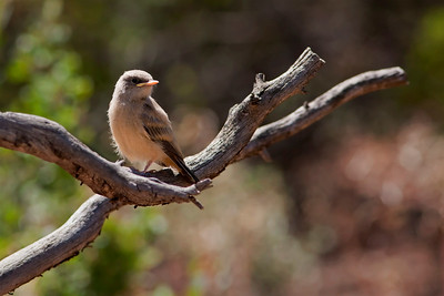 "Say's Phoebe – Fledgling Sayornis saya July – New Mexico L=7.5""......     WS=13"" .......    WT=0.74 oz  Order: Passeriformes (Passerine Birds) Family: Tyannidae (Tyrant Flycatchers)"