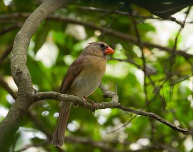 """Northern Cardinal – FemaleCardinalis cardinalis April – Texas L=8.75""""   ......  WS=12"""" ......    WT= 1.6 oz Order: Passeriformes (Passerine Birds) Family: Cardinalidae (Cardinals and Allies)"""