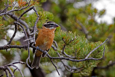 "Black-headed Grosbeak  - First Year malePheucticus melanocephalus July – New Mexico L=8.25""   ......  WS=12.5"" ......    WT= 1.6 oz Order: Passeriformes (Passerine Birds) Family: Cardinalidae (Cardinals and Allies)"