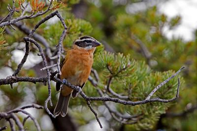 "Black-headed Grosbeak  - First Year malePheucticus melanocephalus July – New Mexico L=8.25""   ......  WS=12.5"" ......    WT= 1.6 oz Order: Passeriformes (Passerine Birds) Family: Cardinalidae (Cardinals and Allies)"