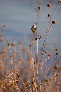 "American Goldfinch – Eating sunflower seeds Carduelis trirtis January – New Mexico L=5""......WS=9"".....WT=0.45 oz...... Order: Passeriformes  (Passerine birds) Family:Fringilldae (Thrushes)"