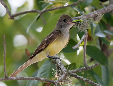 "Great Crested Flycathcher – With Tawny Emperor larvae Myiarchus crinitus July – Texas L=8.75""......     WS=13"" .......    WT=1.2 oz  Order: Passeriformes (Passerine Birds) Family: Tyannidae (Tyrant Flycatchers)"