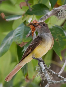 "Great Crested Flycathcher – With Tawny Emperor butterfly Myiarchus crinitus June – Texas L=8.75""......     WS=13"" .......    WT=1.2 oz  Order: Passeriformes (Passerine Birds) Family: Tyannidae (Tyrant Flycatchers)"