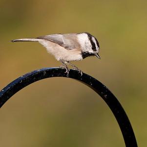 "Mountain Chickadee Poecile gambeli September – Colorado L=5.25""......WS=8.5"".....WT=0.37 oz...... Order: Passeriformes  (Passerine birds) Family:Paridae (Thrushes)"