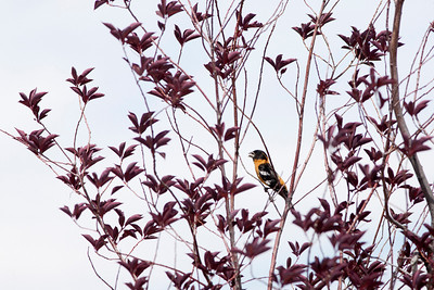 "Black-headed Grosbeak  - Male BreedingPheucticus melanocephalus June – New Mexico L=8.25""   ......  WS=12.5"" ......    WT= 1.6 oz Order: Passeriformes (Passerine Birds) Family: Cardinalidae (Cardinals and Allies)"