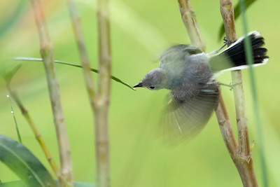 """Blue-gray Gnatcatcher – Drinking DewPolioptila caerulea June – Texas L=4.5"""" ......  WS=6""""  ...... WT=0.2 oz Order: Passeriformes (Passerine Birds) Family: Sylviidae (Old World Warblers and Gnatcatchers)  Blue-gray Gnatcatchers have the broadest range of their genus in North America. Compared to other gnatcatchers (Polioptila) their range extends farther north into cold temperate areas. They prefer moist areas with broadleafed trees."""