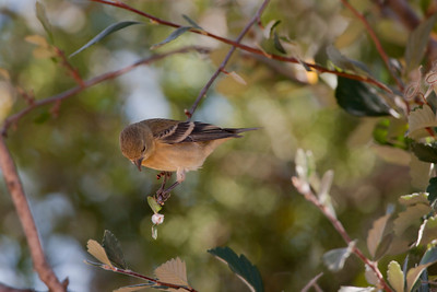 """Lesser Goldfinch – juvenile foraging Carduelis psaltria August – New Mexico L=4.5""""......WS=8"""".....WT=0.35 oz...... Order: Passeriformes  (Passerine birds) Family:Fringilldae (Finches and allies)"""