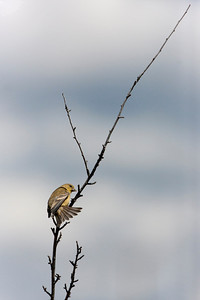 """Lesser Goldfinch – Juvenile Carduelis psaltria August – New Mexico L=4.5""""......WS=8"""".....WT=0.35 oz...... Order: Passeriformes  (Passerine birds) Family:Fringilldae (Finches and allies)"""