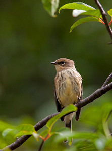 """Yellow-rumped WarblerDendroica coronata September – Nova Scotia L=5.5"""" ......  WS=9.25  ...... WT=0.45 oz Order: Passeriformes (Passerine Birds) Family: Parulidae (Wood Warblers)  Yellow-rumped Warblers have two sub-species – the """"myrtle"""" in the eastern U.S. and Canada and the """"Audubon's"""" in the west. The name """"myrtle"""" derives from the birds ability to eat wax myrtle berries. This ability to digest waxes gives the Yellow-rumped Warbler an largely uncontested food source as other birds do not have the enzymes necessary to gain energy from the wax. In Texas they also appear to scrape wax from the seeds of the alien and invasive Chinese Tallow."""