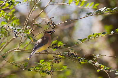"Cedar Waxwing – With berry Bombycilla cedrorum February – Texas L=7.25""......     WS=12"" .......    WT=2 oz  Order: Passeriformes (Passerine Birds) Family: Bombycillidae (Waxwings)"