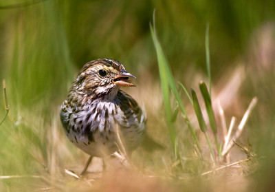 "Savannah Sparrow – ForagingPasserculus sandwichensis April – Texas L=5.5""   ......  WS=6.75"".......     WT=0.7 oz Order: Passeriformes (Passerine Birds) Family: Emberizidae (New World Sparrows) Savannah Sparrows, like many sparrows, forage on the ground in grassy areas. Because of this and their skulking behavior, they can be hard to observe closely. Like most sparrows, they can be hard to identify due to their small size, tendency to flush rapidly, and very similar appearance to other sparrows. One behavior that aids in identifying Savannah Sparrows is their tendency to flush when humans are relatively far away and fly to nearby trees, shrubs or other elevated objects before continuing to forage. Most other sparrows wait until almost stepped on to flush and then fly a long distance and resume foraging."