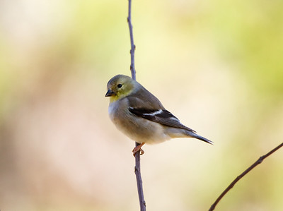 "American Goldfinch Carduelis trirtis January – New Mexico L=5""......WS=9"".....WT=0.45 oz...... Order: Passeriformes  (Passerine birds) Family:Fringilldae (Finches and allies )"