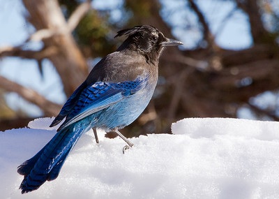 "Steller's Jay – At a picnic siteCyanocitta stelleri January – Colorado L=11.5"".......     WS=19""    ....... WT= 3.7 oz Order: Passeriformes (Passerine Birds) Family: Covidae (Crows and Jays) Steller's Jays are loud, conspicuous regulars where humans are present such as campsites, picnic areas and bird feeders. Besides human generated foods such as cookies, crackers, meat, cheese, bread and chips they eat a wide range of naturally occuring arthropods and seeds."
