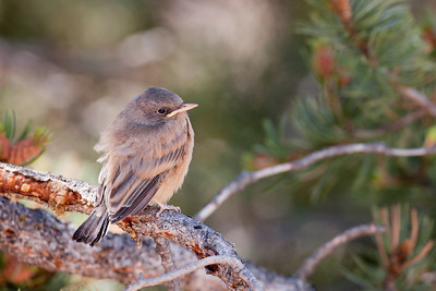 "Say's Phoebe – Fledgling Sayornis saya July – New Mexico L=7.5""......     WS=13"" .......    WT=0.74 oz  Order: Passeriformes (Passerine Birds) Family: Tyannidae (Tyrant Flycatchers)"