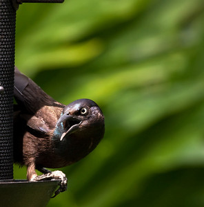"""Common Grackle – At the bird feeder Quiscalus quiscula  April – Texas L=12.5""""   ......  WS=17""""    ....... WT=4 oz Order: Passeriformes (Passerine Birds) Family: Icteridae  (Blackbirds, Orioles, Allies) The Common Grackle is large and conspicuous with a traditional range in the Eastern United States. It extreme flexibility in diet and nesting habits along with the clearing of forests which has increased nesting habitats has led to a surge in its population. It has also expanded its range into the Western United States in the last half century. This success has negative consequences as flocks of grackles are amongst the most significant agricultural pests. Similarly, Common Grackles will descend in great numbers and with great commotion on back-yard bird feeders driving all others off until.  In poor light conditions the Common Grackle looks black but with sunlight a beautiful array of iridescent colors becomes apparent. It song, sung loudly and frequently is inharmonious to human ears but undoubtedly is music to their own."""