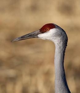 "Sandhill CraneGrus canadensis  January – New Mexico L=41-46""  ......   WS=73-77"" ......    WT=7.3-10.6 lb .......    m>f Order: Gruiformes (Rails, Cranes, Allies) Family: Gruidae (Cranes)"