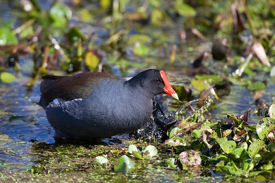 "Common Moorhen – ForagingGallinula chloropus February – Texas L=14""  ......   WS=21""......     WT=11 oz Order: Gruiformes (Rails, Cranes, and Allies) Family: Rallifae (Rails, Gallinules and Coots)"