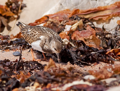 "Ruddy  Turnstone – ForagingArenaria interpres September – Nova Scotia L=9.5""  ......   WS=21""   ......  WT=4 oz Order: Charadriiformes (Shorebirds, Gulls, Auks, Allies)  Family:Scolopacidae (Sandpipers, Phalaropes, and Allies)  Ruddy Turnstones get their name from their foraging technique of flipping over stones, pebbles, seaweed, shells and other items with their chisel shaped beak. They will eat almost anything including insects, small fish, carrion, human trash, and bird eggs. They have stout legs, no webbing between the toes, and a small hind toe which enables them to be skilled at walking, running, climbing on rocks, and digging. As they forage they will run from place to place making behavior observation rewarding and entertaining."