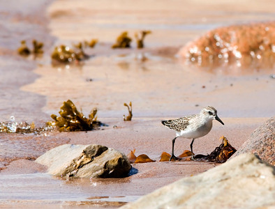 "Sanderling – ForagingCalidris albas September – Nova Scotia L=8""  ......   WS=17""   ......  WT=2 oz......m>f Order: Charadriiformes (Shorebirds, Gulls, Auks, Allies)  Family:Scolopacidae (Sandpipers, Phalaropes, and Allies)"