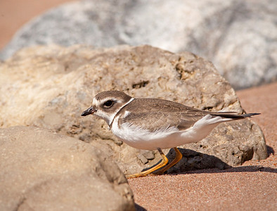 "Semipalmated Plover – ForagingCharadrius semipalmatus September – Nova Scotia L=7.5""  ......   WS=19""   ......  WT=16 oz Order: Charadriiformes (Shorebirds, Gulls, Auks, Allies)  Family:Charadriidae (Plovers and Lapwings)"