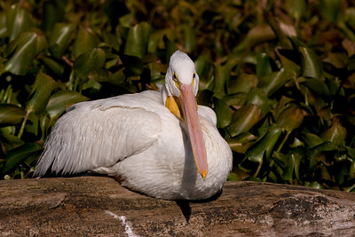 "American White Pelican – Loafing Pelecanus erythrorhynchos  November – Texas  L=62""......WS=108""......WT=16.4 lb Order: Pelecaniformes (Totipalmate Birds) Family: Pelecanidae (Pelicans)  Pelicans are very large water birds with enormous bills and pouches. In North America two pelicans exist - the American White Pelican and the Brown Pelican. Both are large but the American White is almost twice as heavy as the Brown and is one of the heaviest flighted birds (other heavy birds include swans and condors) in the world.   American White Pelicans forage alone and in groups in freshwater habitats. They are well known for cooperative foraging where they encircle and trap groups of fish, drive them into shallow areas, and then, in a coordinated fashion, scoop them up with their bills."