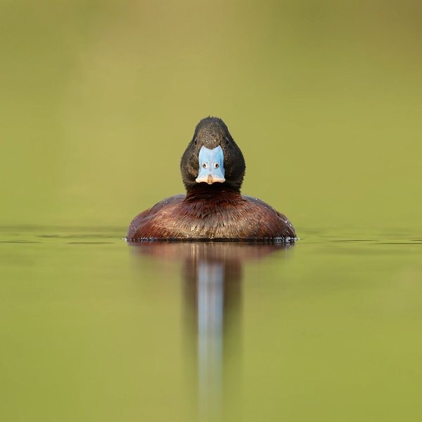 Blue-billed Duck male
