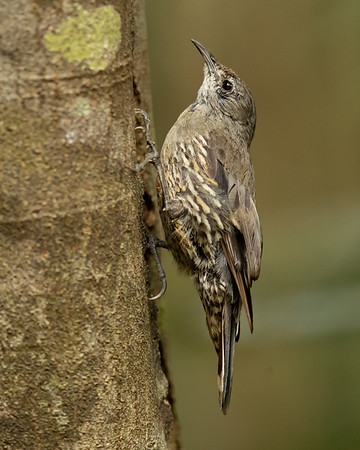 White-throated Treecreeper (Little)