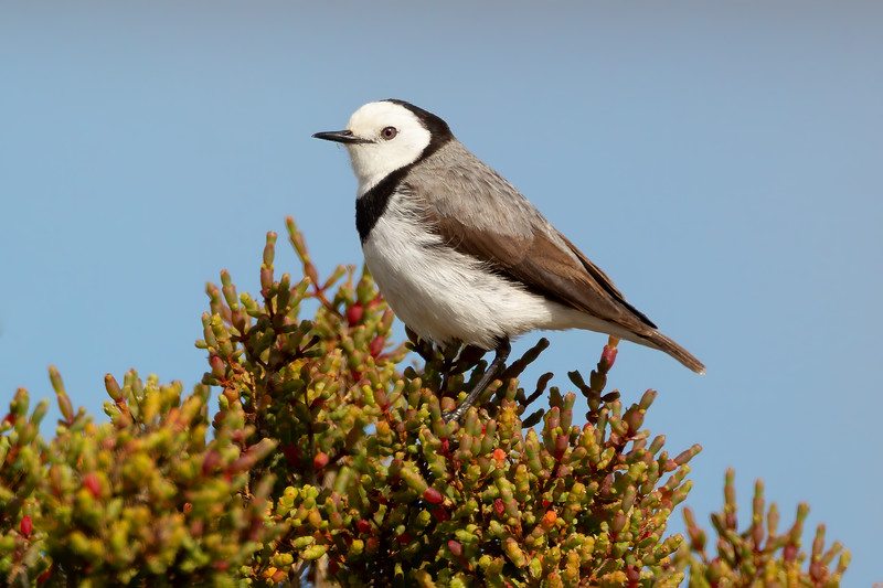 White-fronted Chat