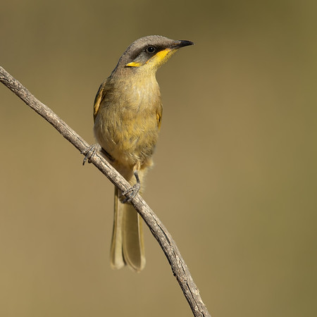 Purple-gaped Honeyeater juvenile