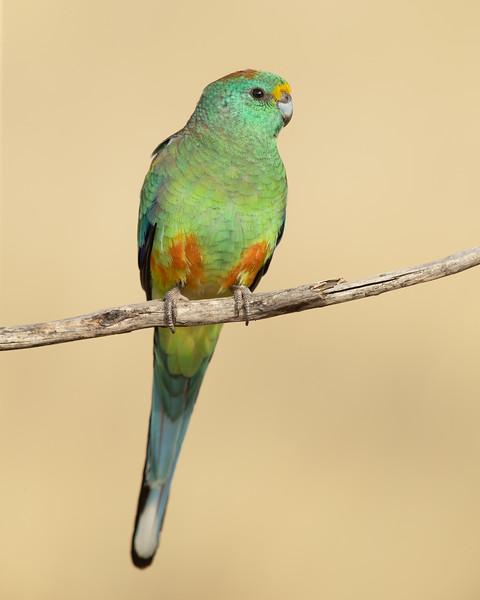 Mulga Parrot male