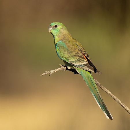 Red-rumped Parrot male