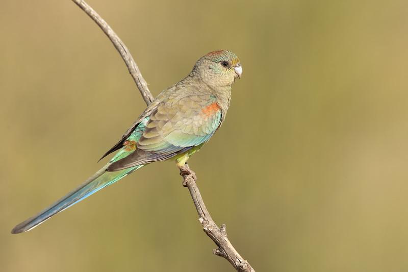 Mulga Parrot female