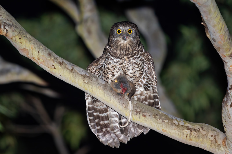 Powerful Owl with a Ring-tailed Possum