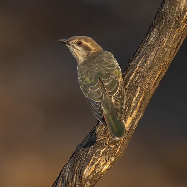 Horsfield's Bronze Cuckoo